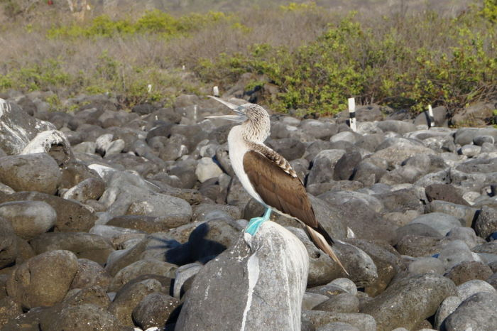 Galápagos Crucero Isla Lobos Blue Footed Boobies