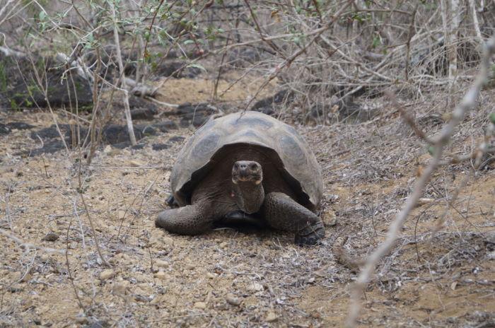 Galápagos Crucero San Cristóbal Tortoise