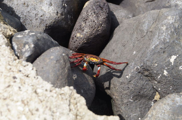 Galápagos Crucero Española sally lightfoot crab