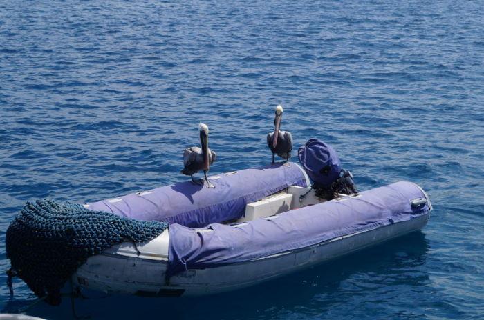 Galápagos Crucero Española Pelicans