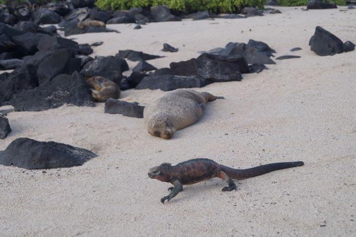 Galápagos Crucero Española Sea lion and Iguana