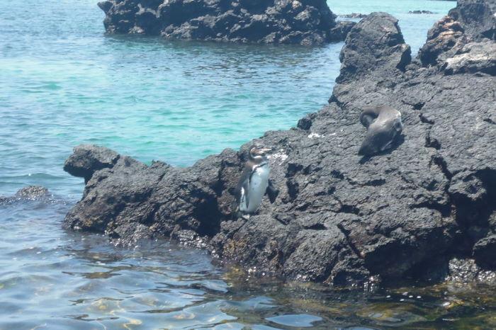Galápagos Isla Isabela Los Tuneles Penguin