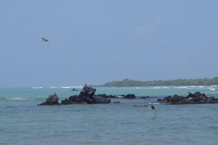 Galápagos Isla Isabela El Estero blue footed booby