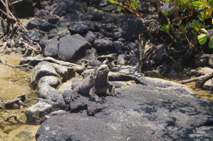 Galápagos Isla Isabela El Estero Iguana
