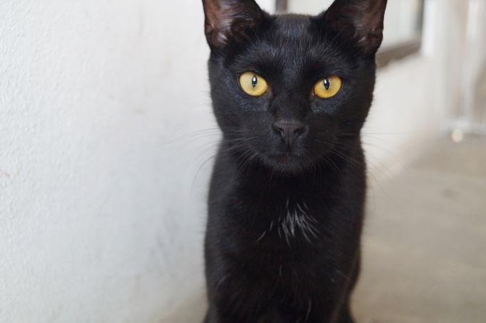 Black Cat looking in the eye