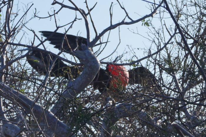 Galápagos Crucero Isla Lobos Frigatebird
