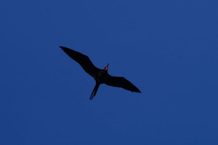 Galápagos Crucero Isla Lobos Flying Frigatebird