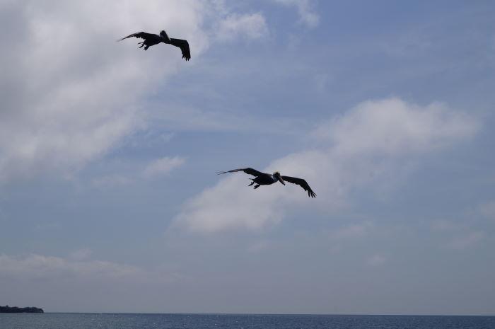 Galápagos Crucero Española Pelicans 1