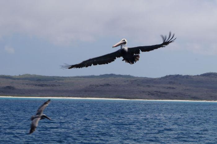 Galápagos Crucero Española Pelicans 2