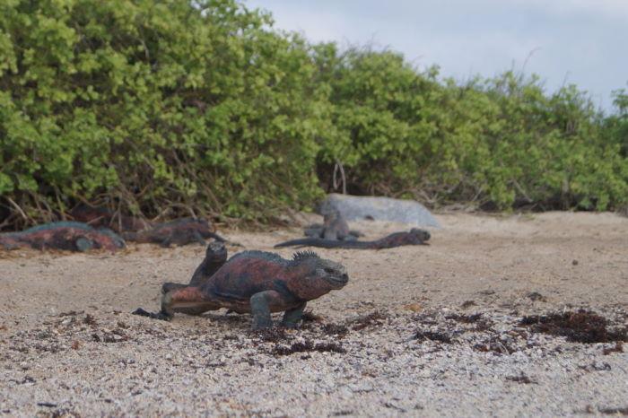 Galápagos Crucero Española Sea Iguana