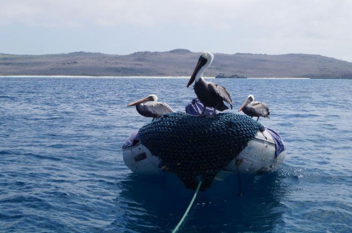 Galápagos Crucero Española Pelicans 7