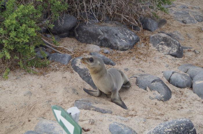 Galápagos Crucero Española Young Sea Lion