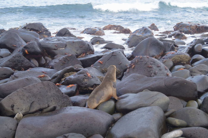 Galápagos Crucero Española sally lightfoot crab and sea lion