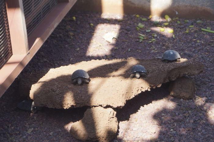 Galápagos Isla Santa Cruz Puerto Ayora  Charles Darwin Research Station Tortoise