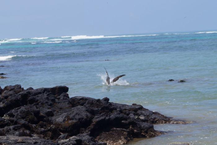 Galápagos Isla Isabela El Estero Pelican