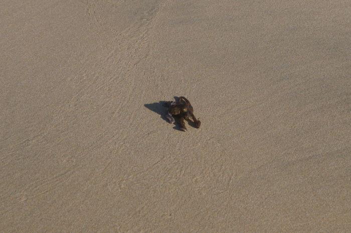 Puerto Villamil Beach Octopus