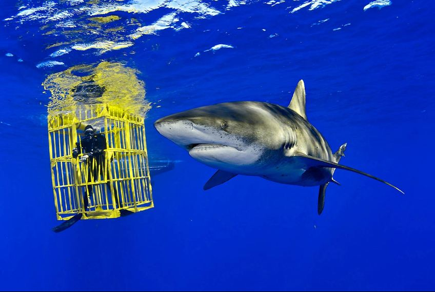 an Oceanic Whitetip shark from a shark cage