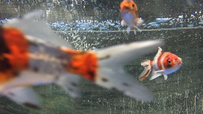 Fische im Aquarium Nahaufnahme