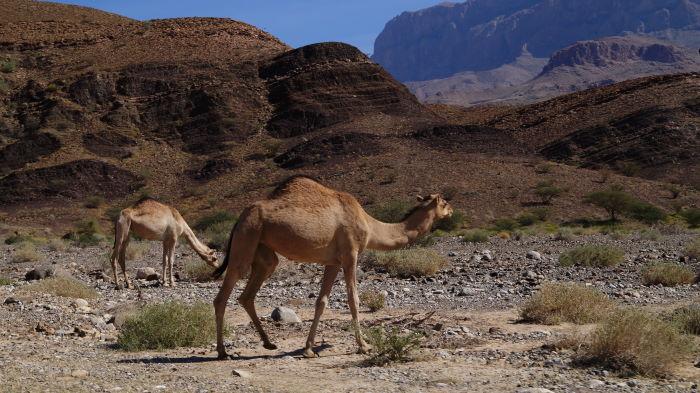 Oman, Ibri to Nizwa, Camels