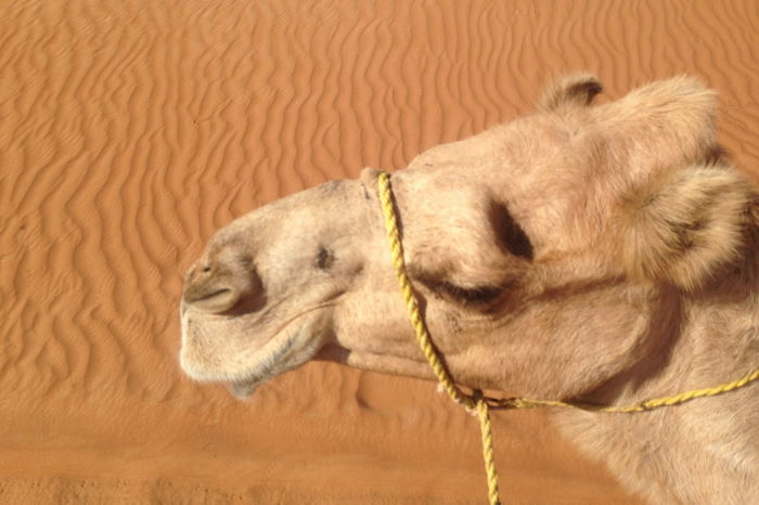Oman Nomadic Desert Camp Camel Ride Close up