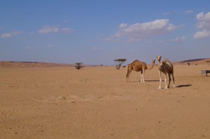Oman, Deserst, Camels